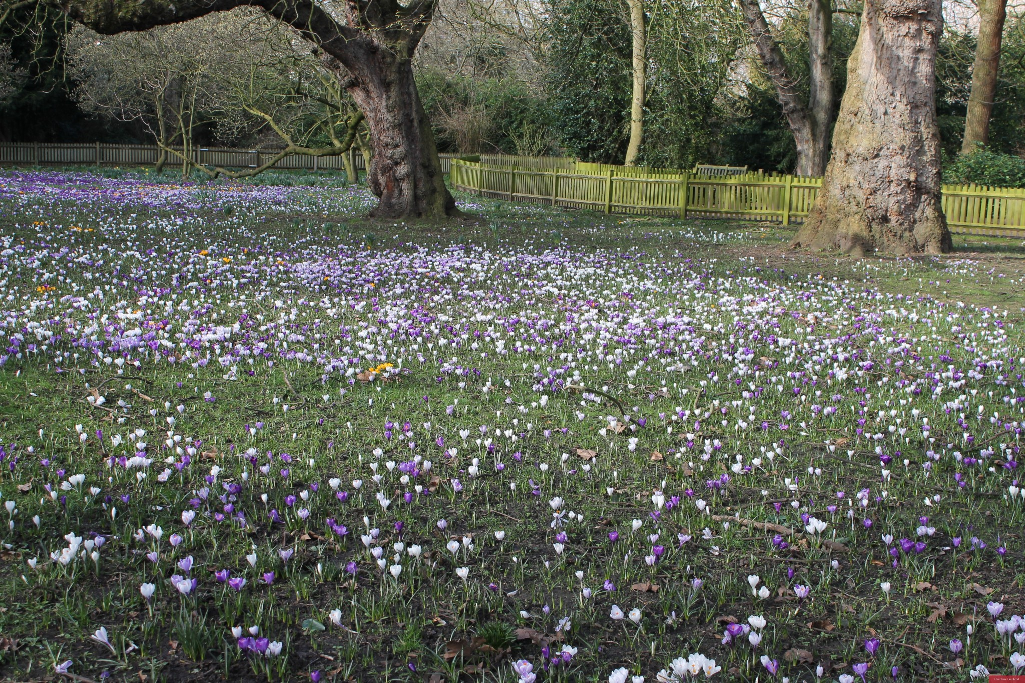 Battersea Park with a crocus overload!