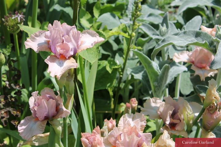 Irises in a New Vintage garden