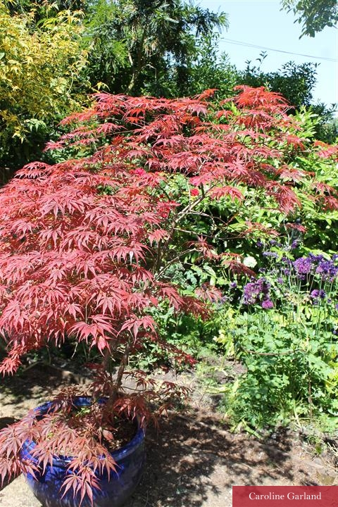 Beautiful Acer planted into a large blue pot