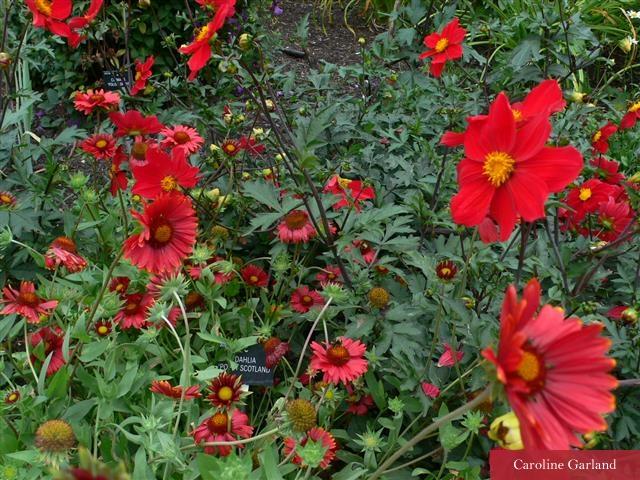 Dahlia 'Poppy Scotland'