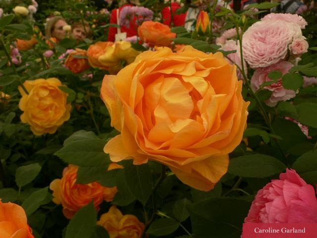 The Lady of Shalott rose