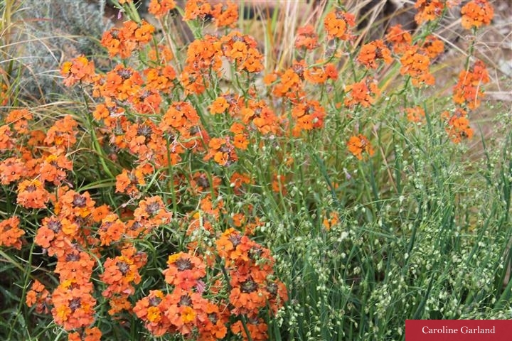 Fallen in love with the orange wallflower