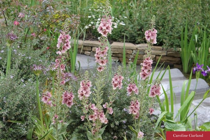 Verbascum at Chelsea